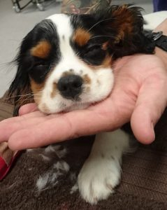 Surgical Management of Congenital Dermoids and Lateral Lid Agenesis North Coast Veterinary Specialist
